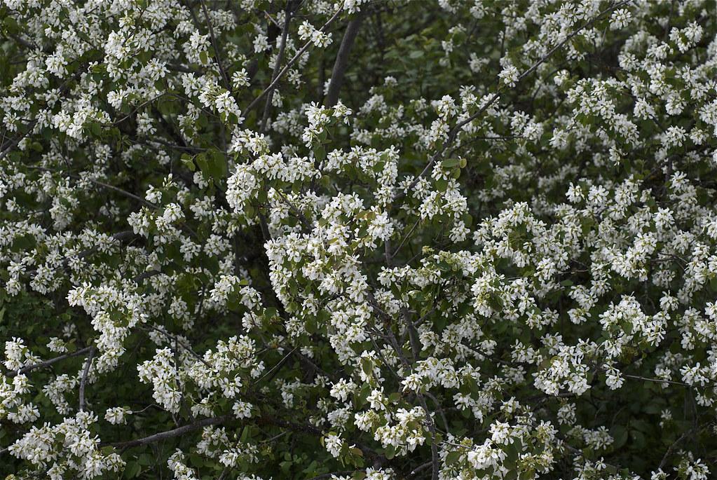 Saskatoon (Serviceberry)
