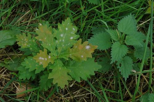 Young Quercus robur (and Oidium fungus) & Urtica dioica