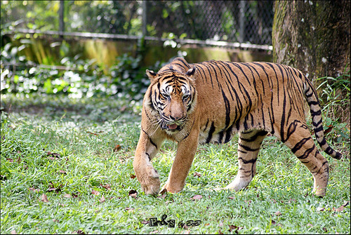 Bumi, the Sumatran Tiger (Panthera tigris sumatrae)
