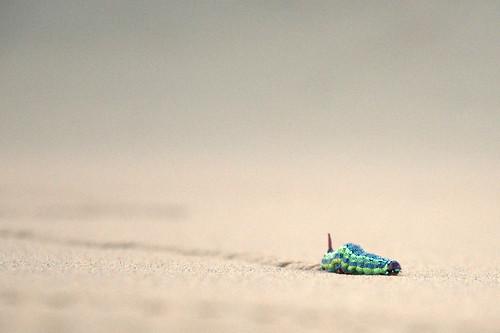 Desert life: caterpillar