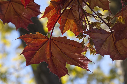 red-maple-leaves