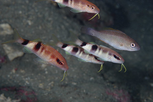 Parupeneus multifasciatus 多帶海鯡鯉