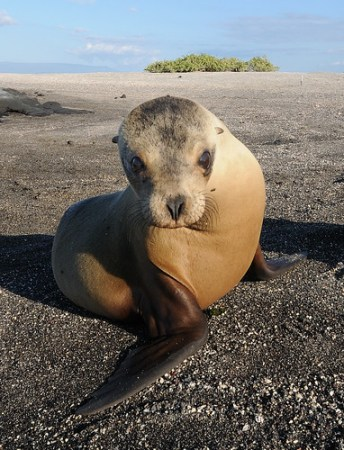 Galápagos Sea Lion Pup - Photo : Scott Ableman