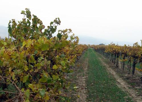 Riverbench row of vines Dec 2009