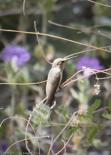 Hummingbird by you.