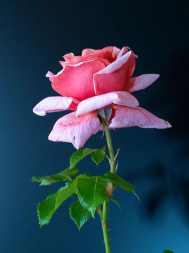 Flower Shadows, pink rose