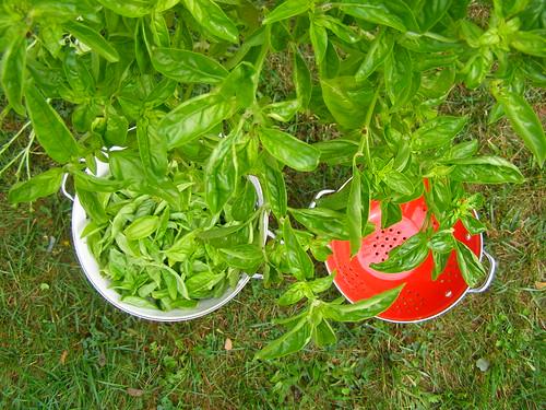 monster basil plant