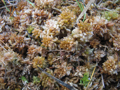 Sphagnum moss in Bog Woodland
