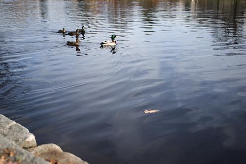 Deering Oaks Ducks