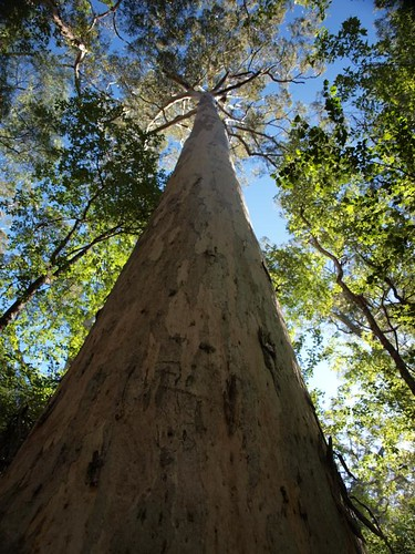 Looking straight up a Karri