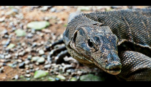 monitor lizard {locally, biawak.}