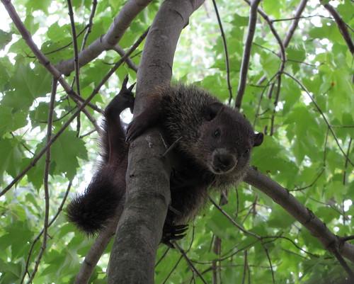 Pa. groundhog