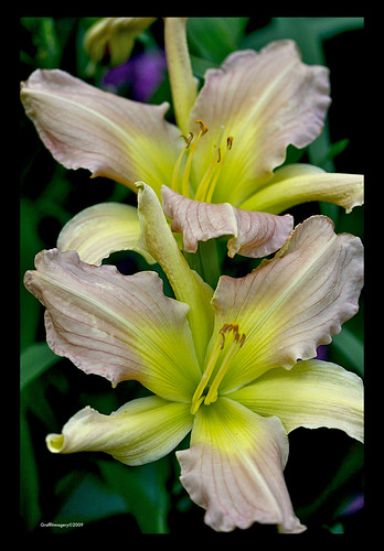 """Prague Springs"" daylily in my garden today by you."