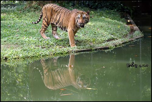 Bumi, the Sumatran Tiger (Harimau Sumatera)