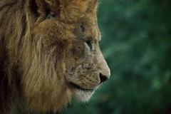Löwe in der Safari de Peaugres