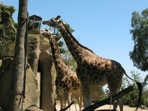 Giraffe at the Melbourne Zoo