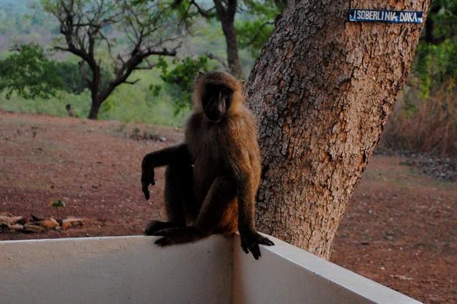 Relaxing baboon