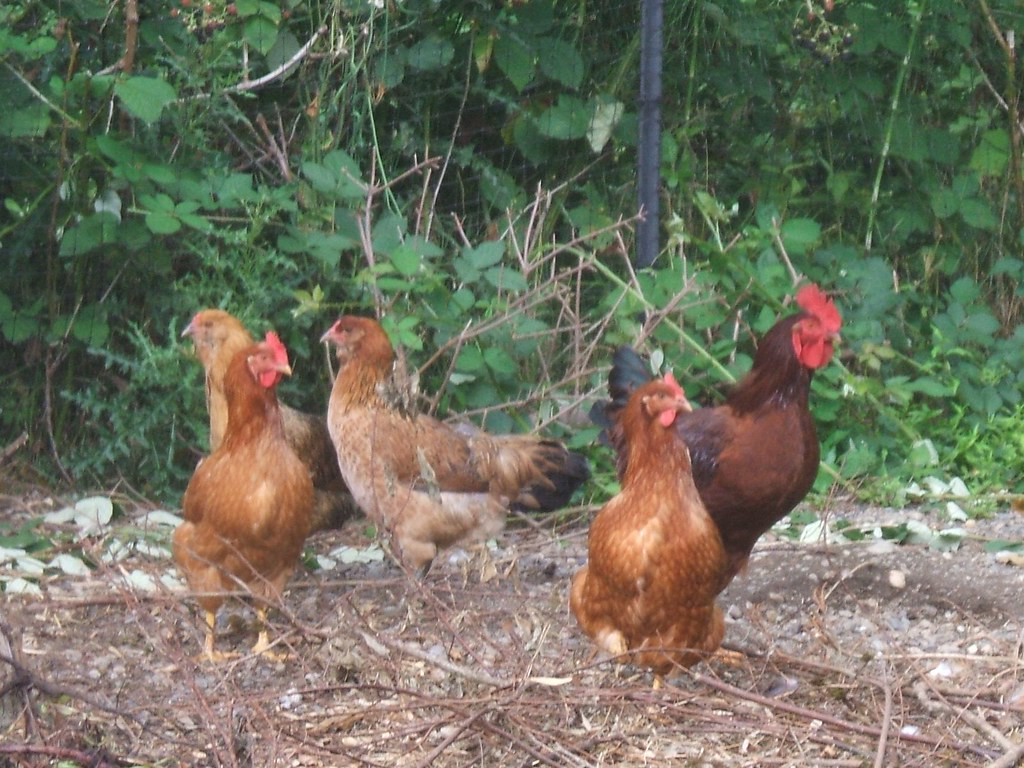Young Araucana hens and rooster