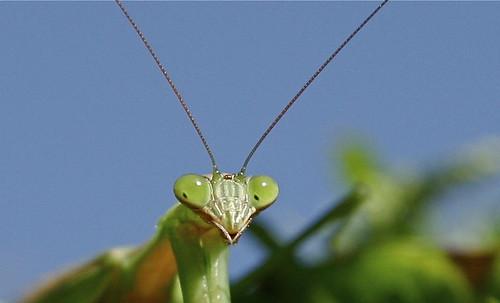 praying mantis detail