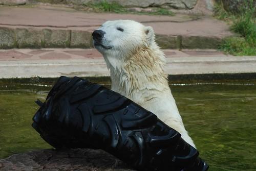 Eisbärin Vera im Tiergarten Nürnberg