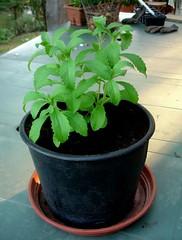 Stevia (sugar substitute) cuttings doing well