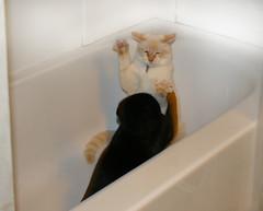 kitten cage match