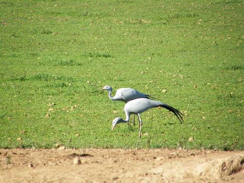 Grulla azul (Anthropoides paradisea)