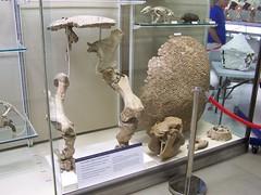 Glyptodon, University Museum of Zoology, Cambridge
