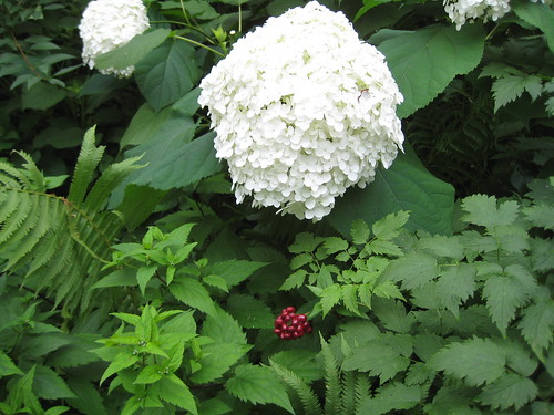 Annabelle hydrangea and red baneberry