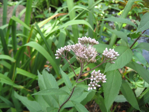 Spotted Joe Pye weed?