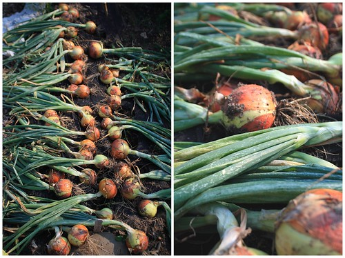 Onions when I pulled them from my garden