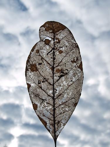 Leaf a la Magritte