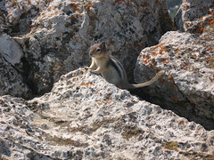 Chipmunk in Waterton
