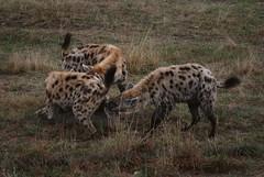 Tüpfelhyänen in der Safari de Peaugre