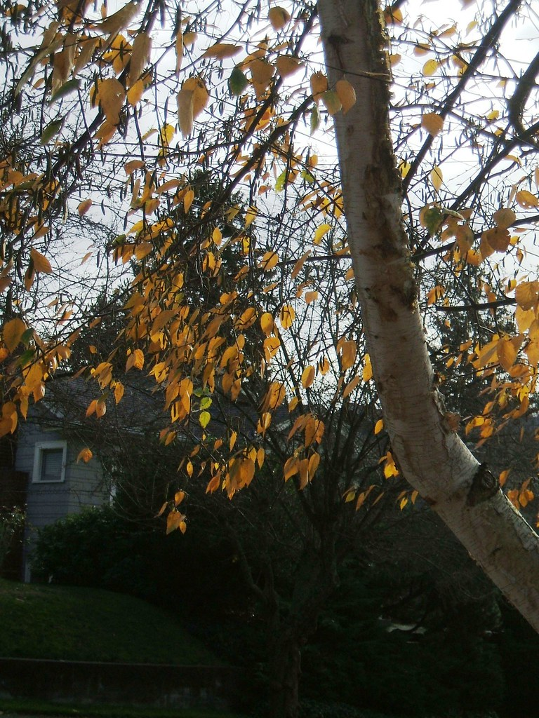 Last birch leaves a-clinging