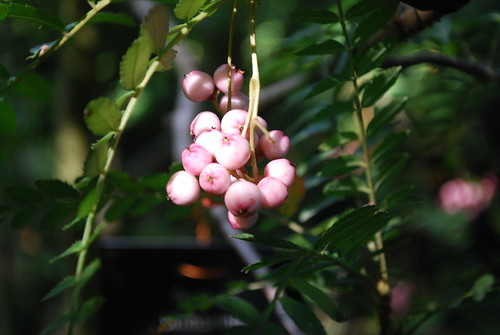 pink berries