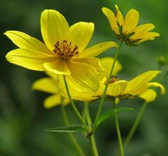 Yellow wildflower, Helianthus (microcephalus?) II