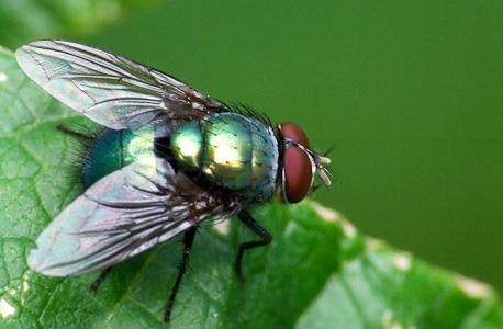 mosca metalizada