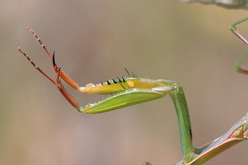mantis9