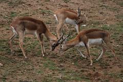 Gazellen in der Safari de Peaugres