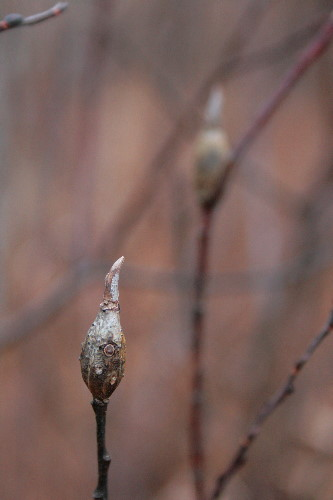willow galls, prob. by Rhabdophaga sp.