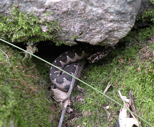 The Common European Viper Hides Under a Rock