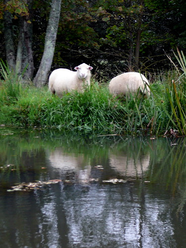Sheep by Bude Canal