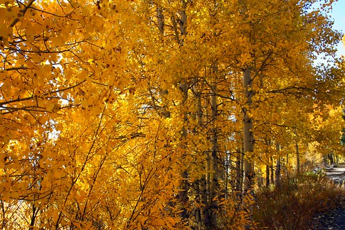 Hope Valley aspens