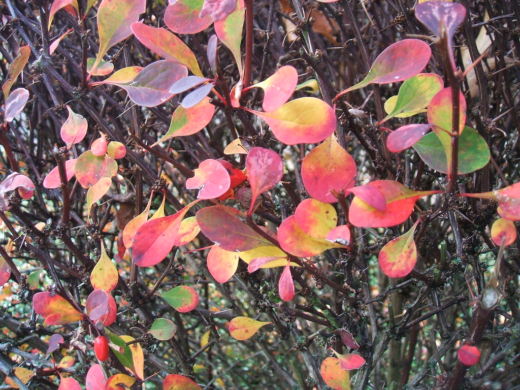 Deciduous hedge in fall