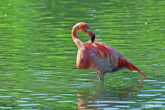 Flamingo in the pond - Punta Cana - 2009