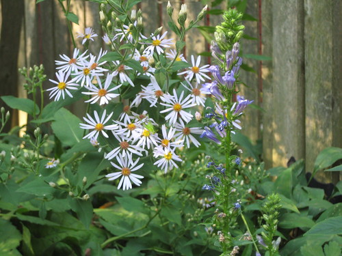 Big leaf aster & great blue lobelia