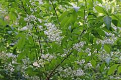 新治市民の森のミツバウツギ(Deutzia, Niiharu Community Woods, Yokohama, Kanagawa, Japan, 2011)