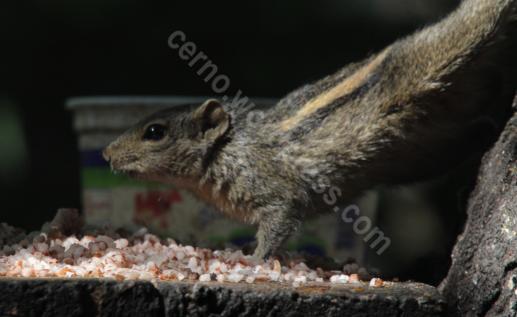 Squirrel dinning posture