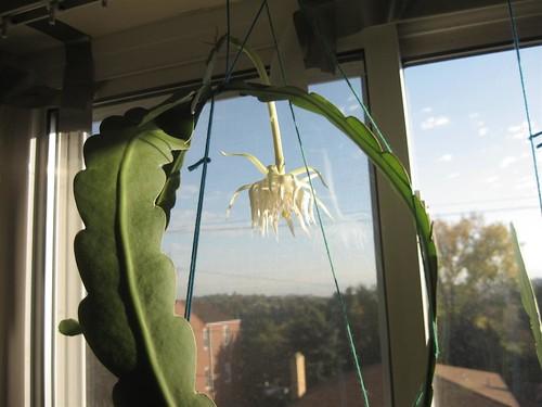 orchidcactus (9)